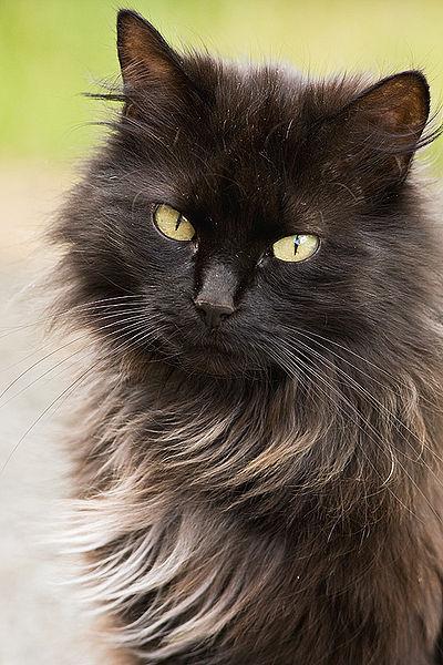Long Haired Smokey White Cat