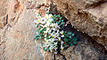 Sarcocapnos enneaphylla saetabensis.jpg