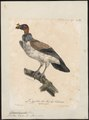 Sarcoramphus papa - 1825-1834 - Print - Iconographia Zoologica - Special Collections University of Amsterdam - UBA01 IZ18100115.tif