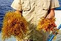 Sargassum.two .species.large by GCRL (20582328484) (2).jpg