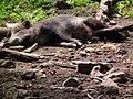 Satt und zufrieden Wildpark Alte Fasanerie Wildschwein Juni 2012.JPG