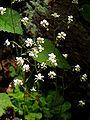 Saxifraga cuneifolia.jpg