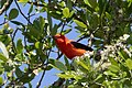 Scarlet Tanager (male) Hooks Wood High Island TX 2018-04-10 10-21-57 (26717570607).jpg