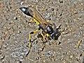 Sceliphron spirifex (Sphecidae) - (imago), Narbolia (comuni), Italy.jpg