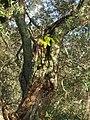 Schefflera actinophylla (Endl.) Harms (AM AK294698-3).jpg