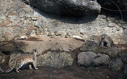 Schneeleoparden (Panthera uncia) Zoo Salzburg 2014 d.jpg