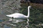 Schwan - swan (25361255469).jpg