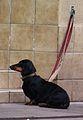 Schwarz-roter Kurzhaardackel leicht übergewichtig August 2012.JPG