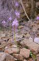 Scilla obtusifiolia0286 02.jpg