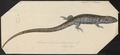 Scincus spec. - 1700-1880 - Print - Iconographia Zoologica - Special Collections University of Amsterdam - UBA01 IZ12600029.tif