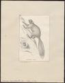 Sciurus capistratus - 1700-1880 - Print - Iconographia Zoologica - Special Collections University of Amsterdam - UBA01 IZ20400059.tif