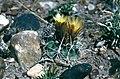 Sclerocactus whipplei fh 58 AZ BC.jpg
