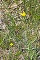 Scorzonera humilis 2.jpg