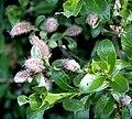 Seidenhaarige Weide (Salix glauca) 5790.JPG