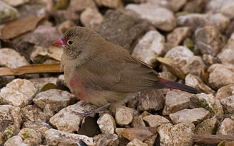 Red-billed firefinch - Image: Senegal Firefinch (Lagonosticta senegala) stoney ground