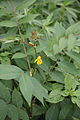 Senna occidentalis 8415.JPG