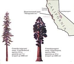 Comparaison des silhouettes et des aires de répartitions des deux espèces appelées «Séquoia».