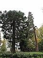 Sequoias pres du bassin rond du chateau de Rentilly.jpg