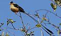 Shaft-tailed whydah, Vidua regia, at Pilanesberg National Park, Northwest Province, South Africa (28371380150).jpg