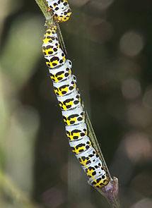 Shargacucullia scrophulariae caterpillar, Helmkruidvlinder rups.jpg