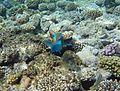 Sharm El Sheikh Roundhead parrotfish chasing.jpg
