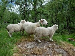 Sheep norwegian dala.jpg