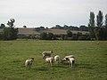 Sheep pasture adjoining the River Usk - geograph.org.uk - 1433894.jpg