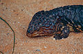 Shingleback Lizard (Tiliqua rugosa) close-up (10106730176).jpg