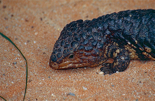Shingleback Lizard (Tiliqua rugosa) close-up (10106730176)