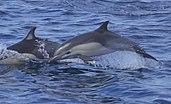 Short-beaked Common Dolphin (Delphinus delphis) (14825276609).jpg