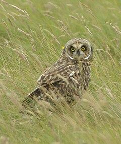 Sowiarnia- sowy, klatki i przysmaki 240px-Short-eared_owl