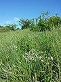 Silene nutans subsp. nutans sl3.jpg