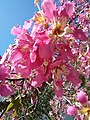 Silk floss tree (10313847796).jpg