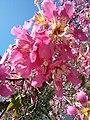 Silk floss tree (10313847796).jpg