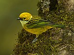 Silver-throated Tanager - Panama H8O1974 (22882490849).jpg