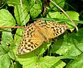 Silver-washed Fritillary. Argynnis paphia. Female. - Flickr - gailhampshire.jpg