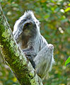 Silvered Leaf Monkey (Trachypithecus cristatus) - bad day ? (15783029932).jpg