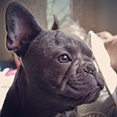 french bulldog wiki french bulldog wikipedia the free encyclopedia 4695