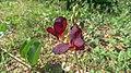 Siratro flower (16647382564).jpg