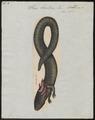 Siren lacertina - 1700-1880 - Print - Iconographia Zoologica - Special Collections University of Amsterdam - UBA01 IZ11400201.tif