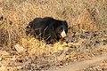 Sloth bear (3).jpg