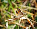 Small Copper (35997866555).jpg