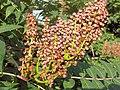 Smooth Sumac berries (2996303039).jpg
