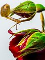 Snail on roses.jpg