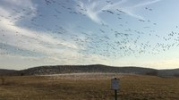 File:Snow geese at Middle Creek.webm