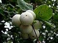 Snowberries (Symphoricarpos albus) - geograph.org.uk - 580542.jpg