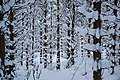 Snowy Forest - panoramio.jpg
