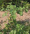 Solanum nigrum.jpeg