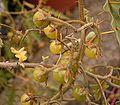 Solanum pyracanthum 05 ies.jpg