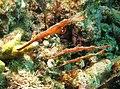 Solenostomus cyanopterus, Indonesia.jpg